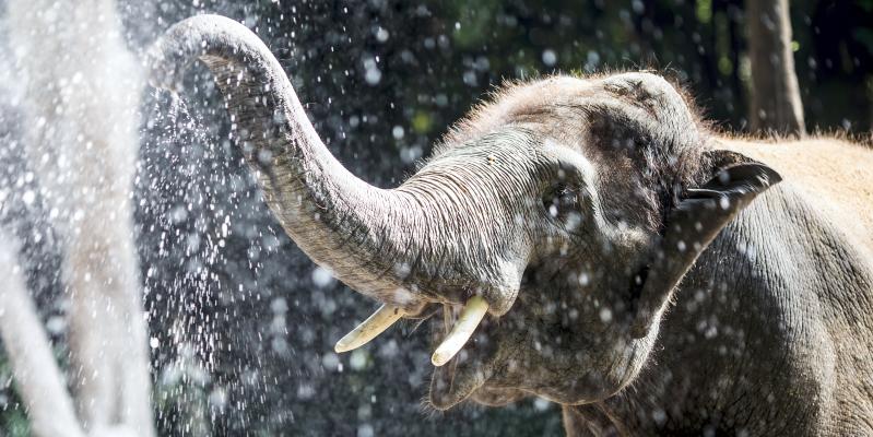 Тайский слон в Таиланде