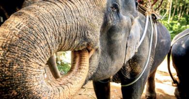 Слон в Таиланде, Чанг, Chang, Elephant Thailand